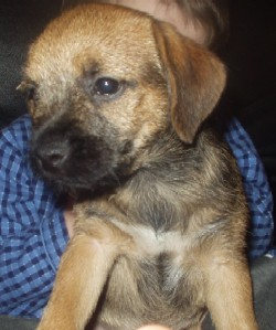 A Brandycarr Border Terrier Puppy