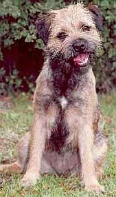 Lilly: A Brandycarr Border Terrier