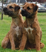 Rafa 1 of our Border Terrier Puppies 1 year on